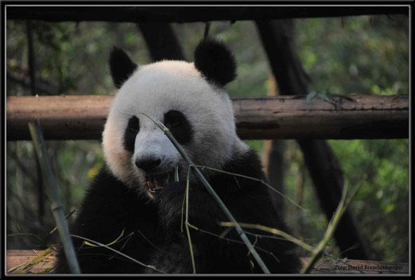 C0740Panda Zoo Chengdu