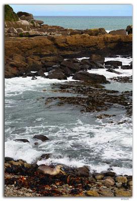 NZ0912.Curio Bay,Seal