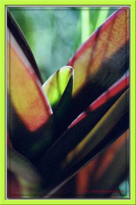 57.Pflanze beim Vulkan Cuicocha,Ecuador
