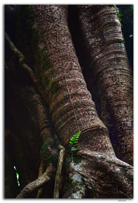 ID0187.Bedugul.Bot.Garten.Giant Fig Tree
