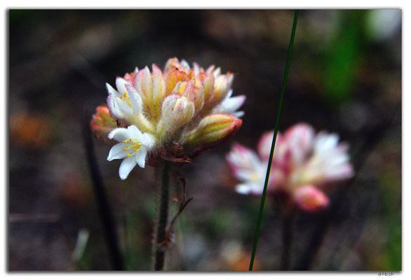 AU0674.Greenmount N.P.Blume