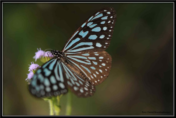 C2695 Hong Kong Victoria Peak Ceylon Blue Glossy Tiger