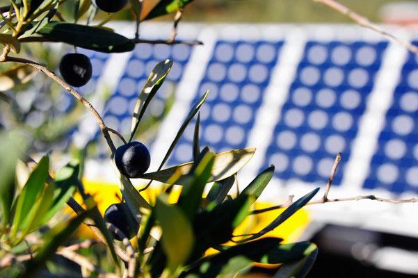 GR: Solatrike im Olivenhain
