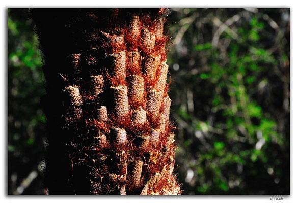 AU1474.Bemm River Rainforest Walk.Tree fern