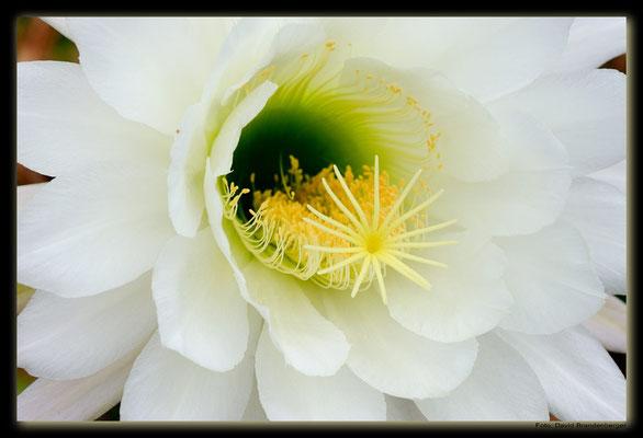 LAN078.Kaktusblüte