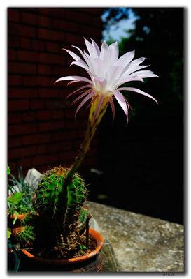 GE035.Kutaisi.Kaktusblüte