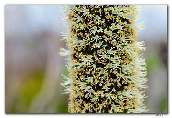 AU0818.Albany.Torndirrup N.P.Stony Hill.Grass Tree