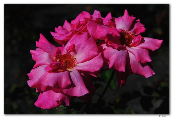 NZ0729.Christchurch.Botanical Garden.Rose