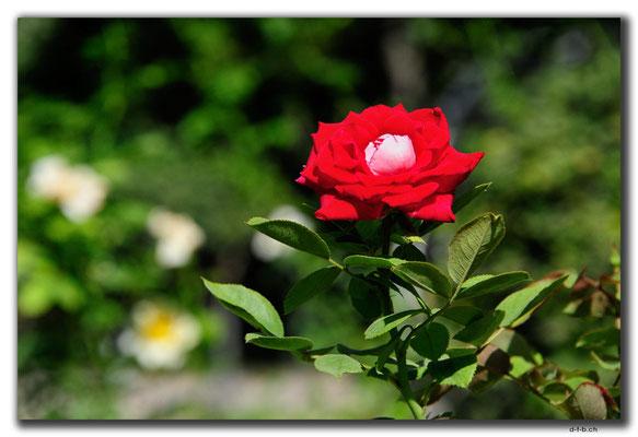 IR0167.Isfahan.Flower Garden.Rose