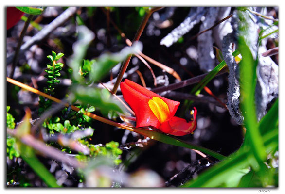 AU0563.Green Head.Orchid