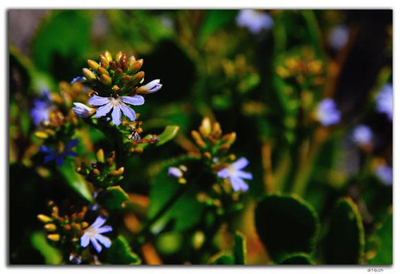 AU0560.Green Head.Blume