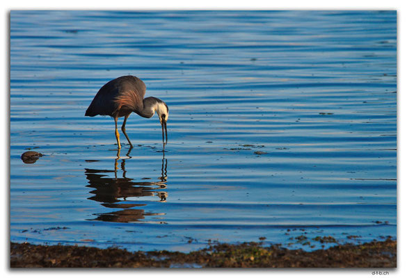 NZ0487.Motueka.Egret (White faced Heron) catches a fish