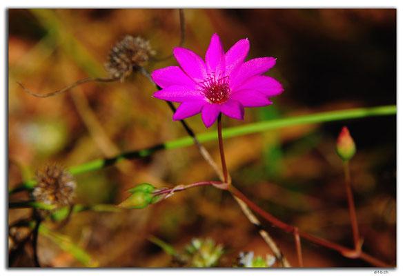 AU0253.Blume