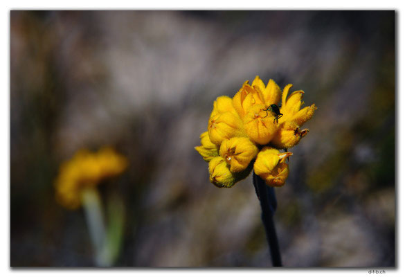 AU0517.Blume