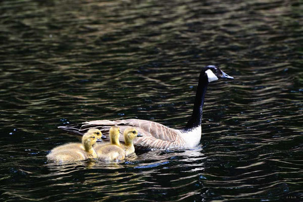 CA0483 Algonquin Park Amikeus Lake Canada Goose