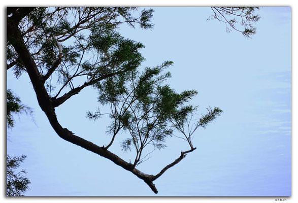 AU1438.Corinna.Huon Pine