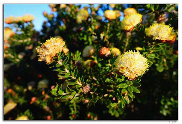 AU0507.Geraldton.Wildblume