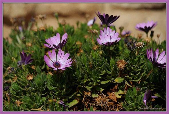 JO056.Blüten.Shawbak