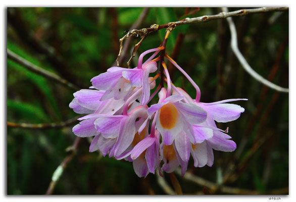 ID0175.Bedugul.Bot.Garten.Orchidee