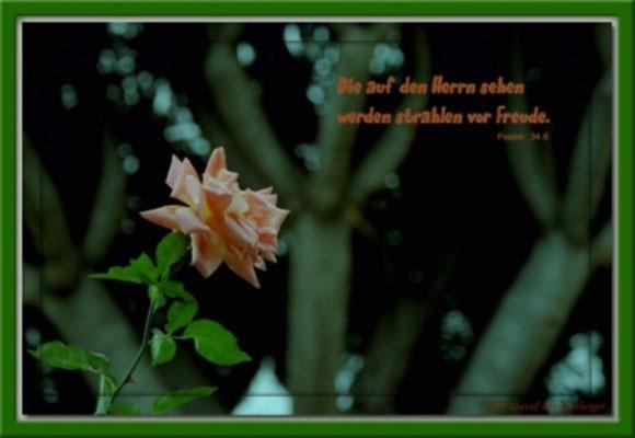 S0031 Rose,Orotava,Teneriffa.Psalm 34.6