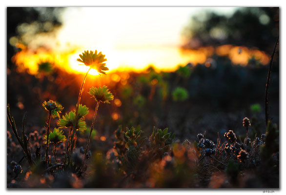 AU0408.Sonnenuntergang mit Blume