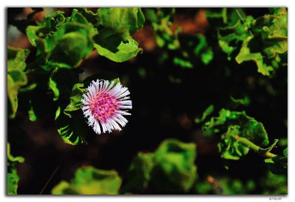 AU0364.Blume