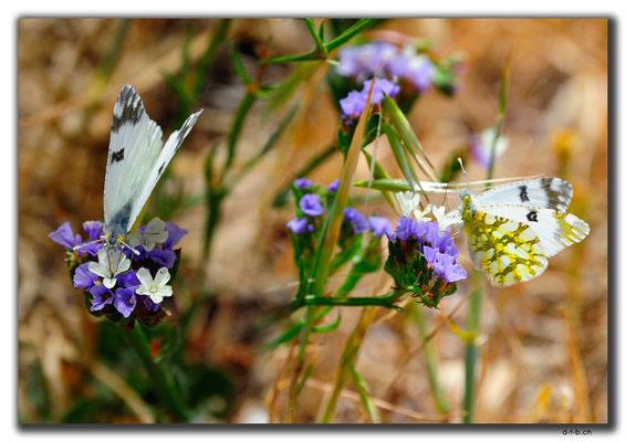 TR0533.Alasiya.Schmetterlinge