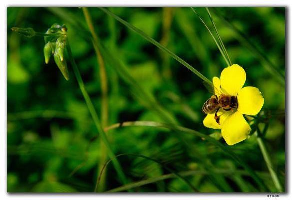GR0541.Malia.Biene und Blume