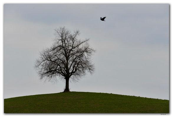 A0915.Baum.Uetliberg.CH