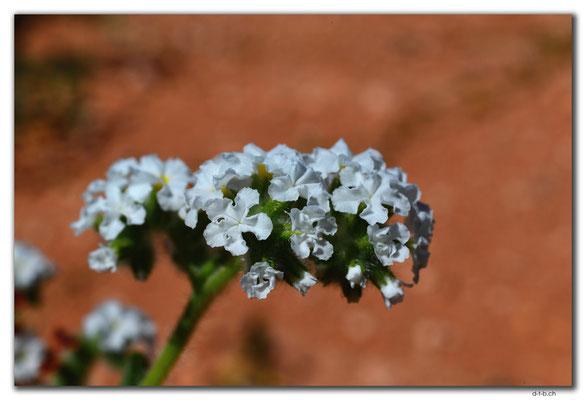 AU0367.Blume