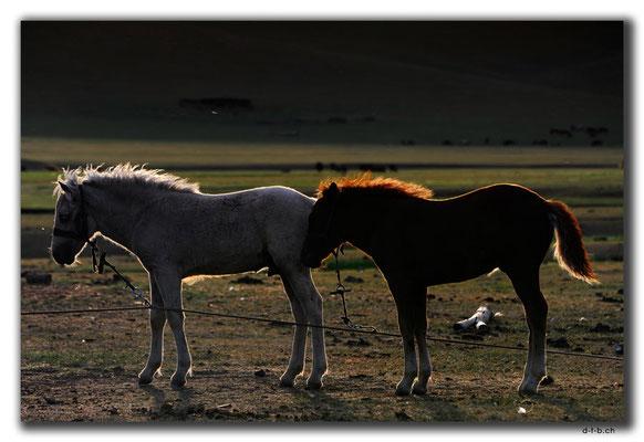 MN0069.Orkhon Valley.Fohlen