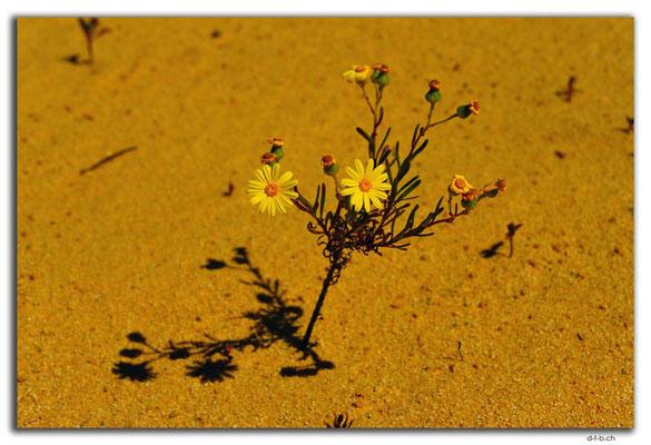 AU0580.Nambung N.P.Pinnacles.Blume