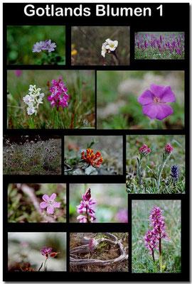 Gotland Blumen 1 / Gotland flowers 1
