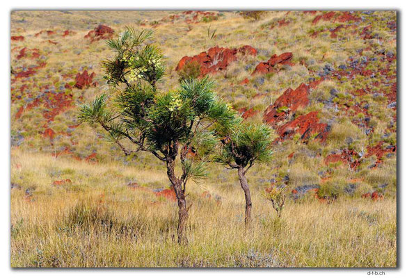 AU0333.Karratha.Caustic Bush