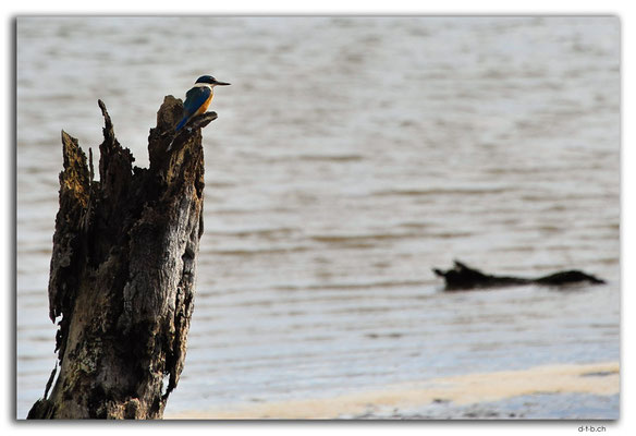 NZ0208.Whangarei.Kingfisher