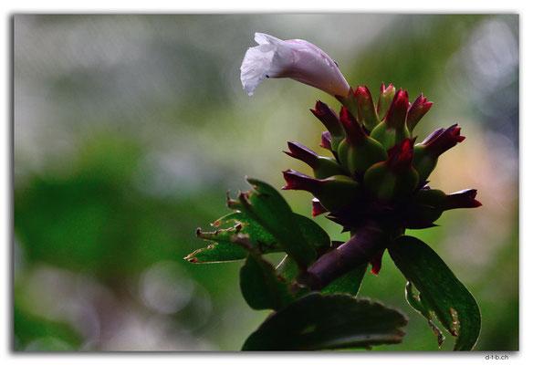 ID0082.Ubud.Blume