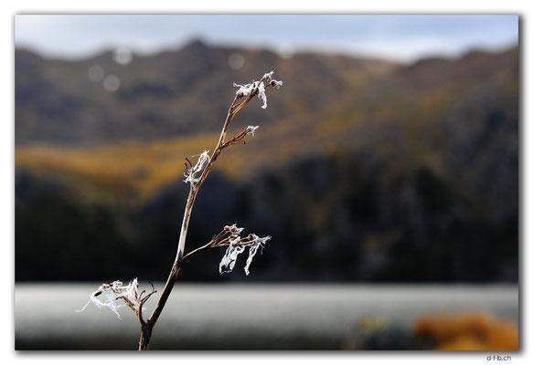 NZ0503.Kahurangi N.P.Flower at Sylvester Lake