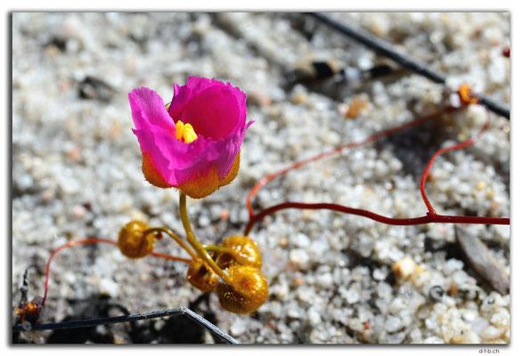 AU0538.Blume