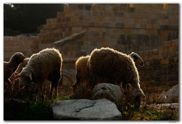 TR0244.Patara.Schafe vor Versammlungshalle