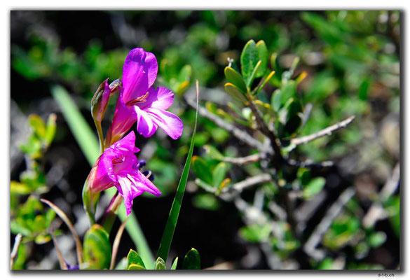 TR0491.Blume bei Tasucu