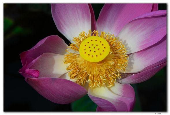 ID0052.Ubud.Pura Saraswati.Lotus