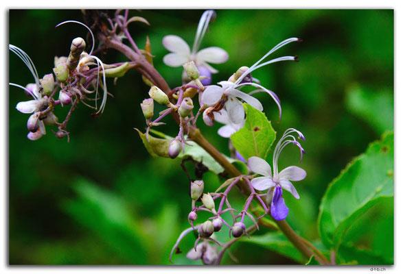 ID0068.Ubud.Blume