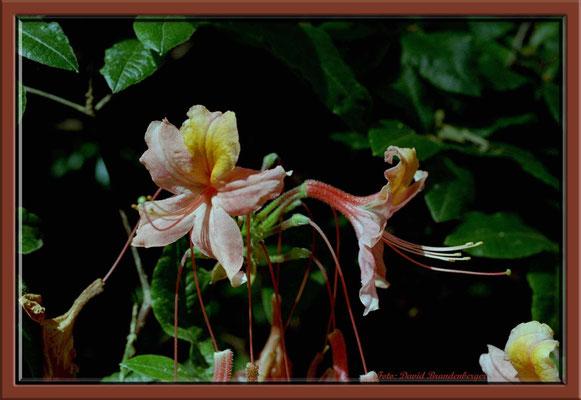 A0191.Rhododendron.Bremen