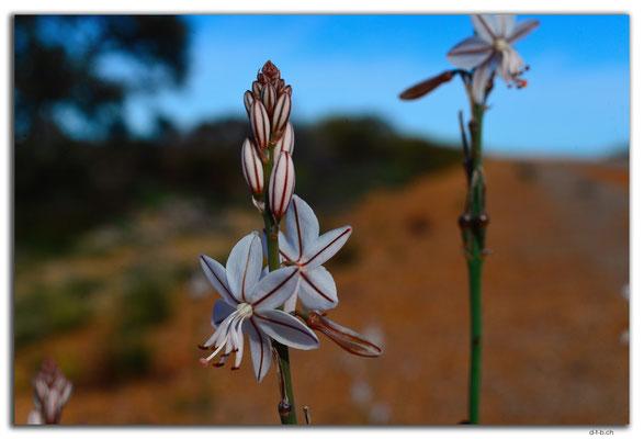 AU0557.Blume