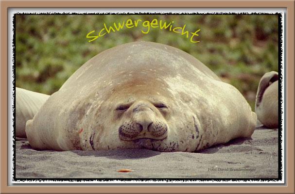 22.-Schwergewicht- Seeelefant,S.G