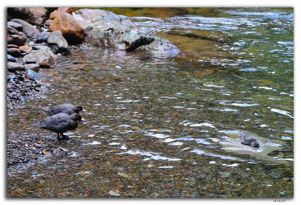 NZ0574.Anatoki Track.Stanley River.Blue Ducks