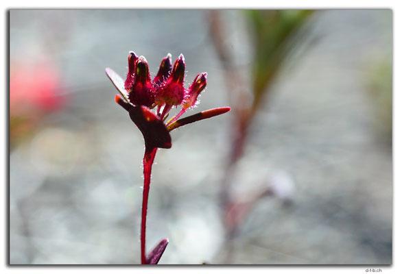 AU0539.Blume