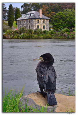 NZ0131.Kerikeri.Stone Store and Cormorant