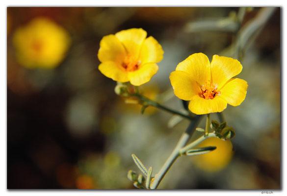 AU0296.Blume