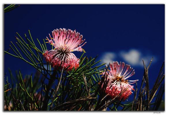 AU0441.Kalbarri N.P.Blume